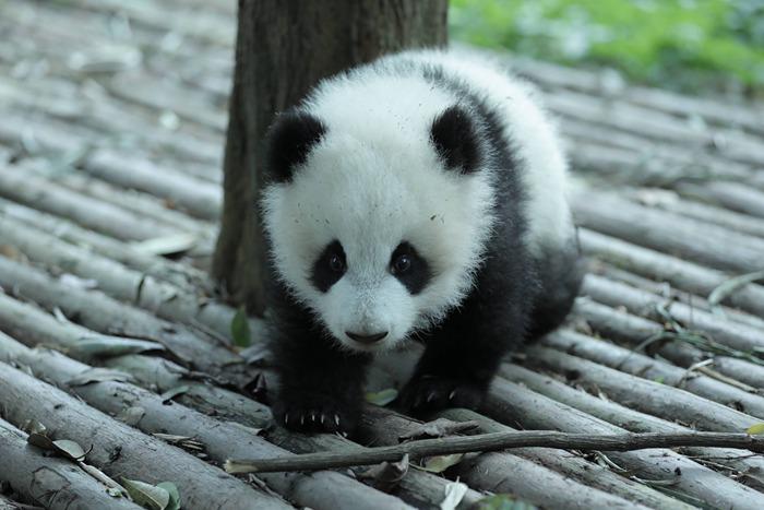 panda china tour
