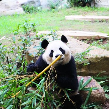 1-day Tour of Panda & Local Life in Chengdu