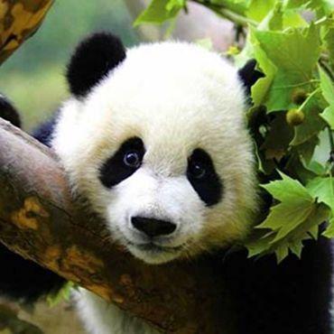 2-day Panda Tour